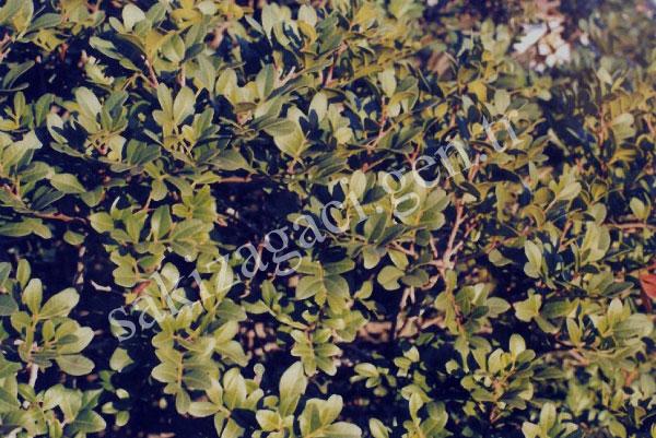 P.lentiscus-var.chia-Duham